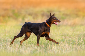Brown doberman run in autumn field