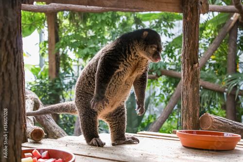 Garden Poster Koala Couscous des Célèbes