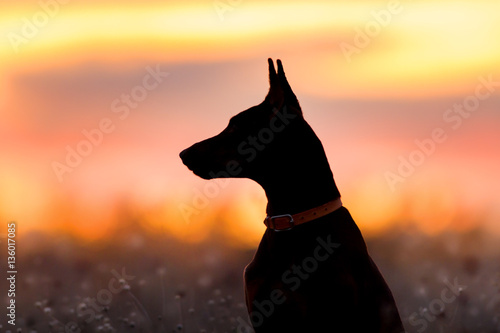 Stampa su Tela Doberman silhouette against sunset sky