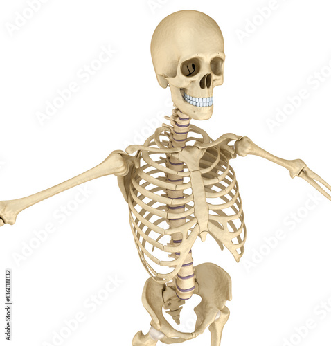 Garden Poster Sweet Monsters Human skeleton: breast chest. Front view. Medically accurate 3D illustration