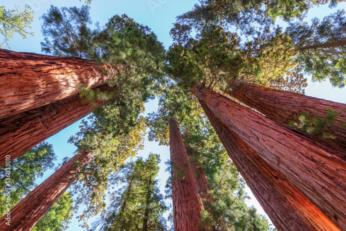 Fotobehang Natuur Park Giant Sequoias forest in Sequoia National Park in California.