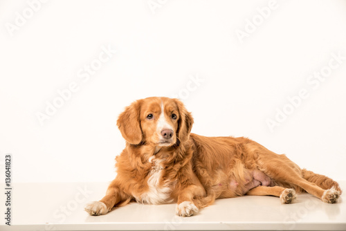 Photo  Young Toller adult