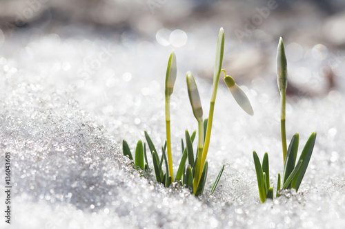 Fotografía Blooming snowdrops flowers in early spring snowy forest