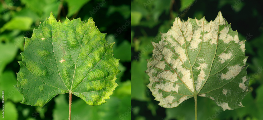 Fototapety, obrazy: Grape erineum mite / Eri ophyes vitis/  Blister mite Colomeris / Vitis galls on a grape leaf