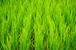 Leinwanddruck Bild - Young terrace rice plantation in a Karen village, Thailand