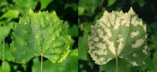 Canvas Print Grape erineum mite / Eri ophyes vitis/  Blister mite Colomeris / Vitis galls on