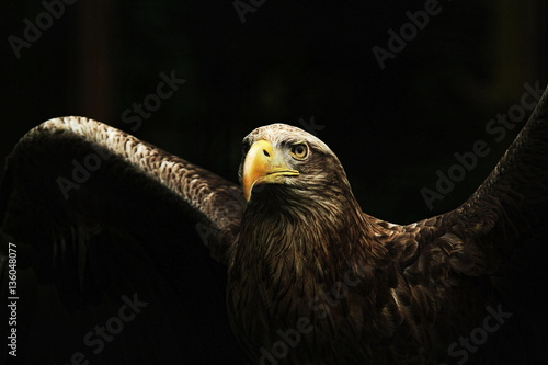 Foto auf Leinwand Adler White-tailed Eagle