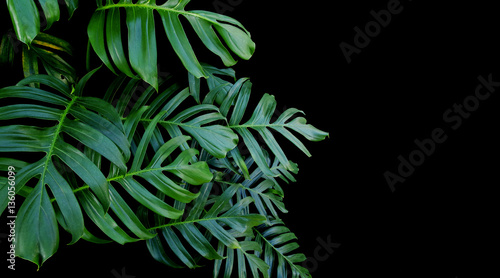 Fototapeta Green leaves of Monstera philodendron plant growing in wild, the tropical forest vine plant on black background.