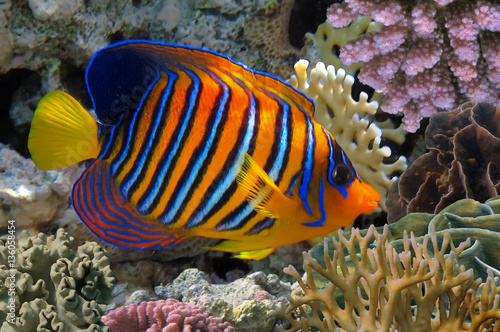 Poster Sous-marin Regal angelfish in the Red Sea