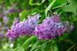 Purple lilac flowers in spring blossom under soft sunlight -floral background