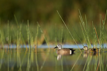 A Pair Of Blue-winged Teal Duc...