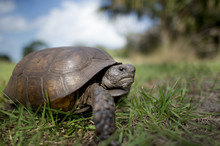 A Gopher Tortoise Walking In Green Grass With A Blue Sky Behind It On A Bright Sunny Day.