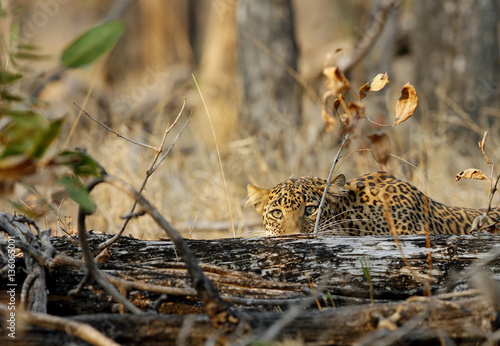 Leopard in Pench National Park