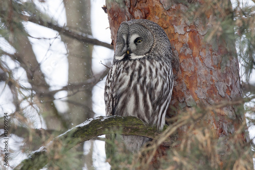 Keuken foto achterwand Uil Great grey owl sitting on branch of pine tree