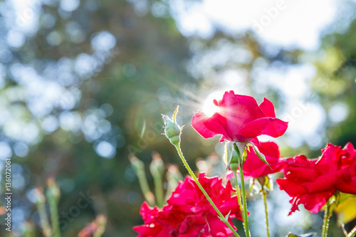 Aluminium Prints Bestsellers red rose in garden