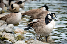 Canada Geese On A Rocky Shore.
