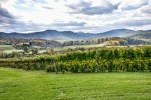 Autumn Vineyard Hills During In Virginia With Yellow Trees