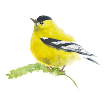 American Finch Yellow Bird Watercolor Illustration Handmade Isolated On White Background