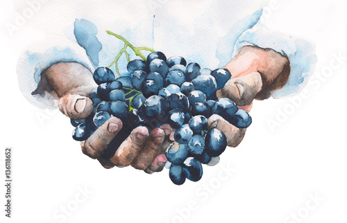 Fotografiet  Grapes in hands watercolor painting illustration isolated on white background
