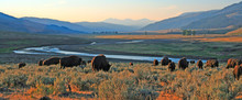 Bison Buffalo Herd At Dawn In ...