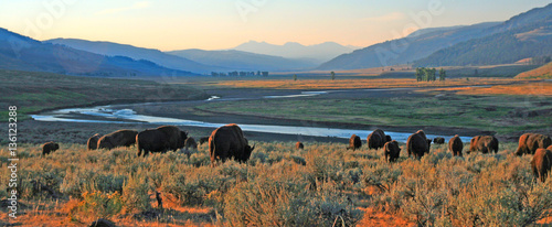 In de dag Buffel Bison Buffalo herd at dawn in the Lamar Valley of Yellowstone National Park in Wyoiming USA