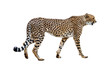 canvas print picture - Cheetah Walking Profile Isolated on White