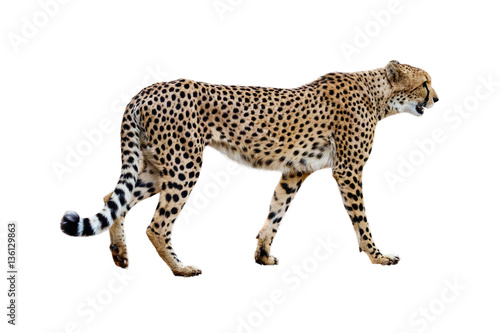 Fényképezés Cheetah Walking Profile Isolated on White