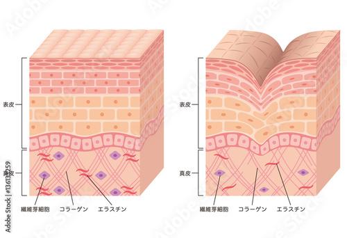 Fotografía  しわ 皮膚の構造 断面図