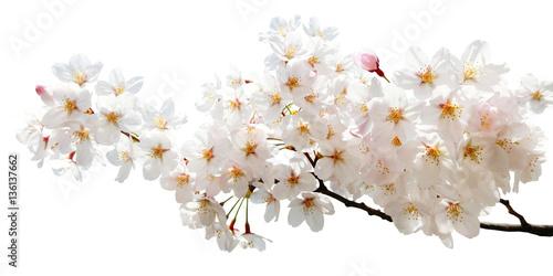 Keuken foto achterwand Kersenbloesem 満開の桜切抜き
