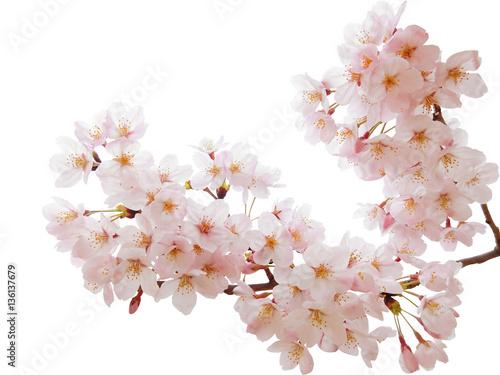 Foto op Plexiglas Kersen 満開の桜切抜き