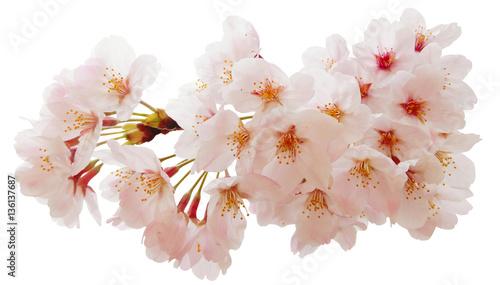 Foto op Aluminium Kersen 満開の桜切抜き