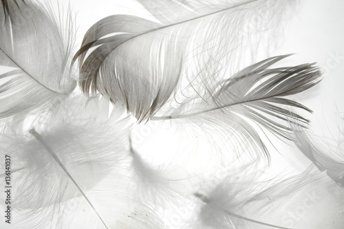 Plakaty białe  bird-feather-on-a-white-background-as-a-background-for-design