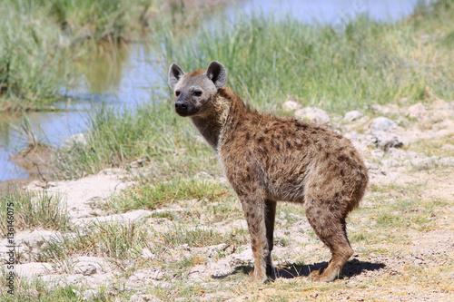 Foto op Aluminium Hyena Одинокая гиена прогуливается в полдень на открытых просторах Африки