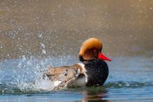 Male Red-crested Pochard (Netta Rufina) Swimming, Pluming, Splas