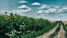 Dirt Road In A Sunflower Field