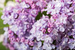 beautiful lilac in bloom close up