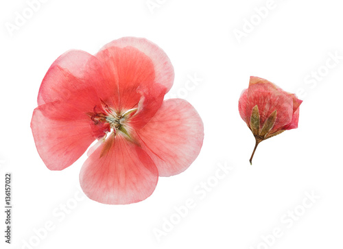 Pressed and dried  flowers geranium (pelargonium). Isolated Canvas Print
