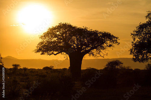 Baobab in sunset