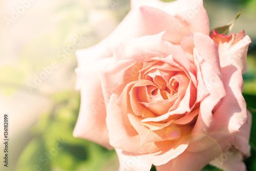 Foto op Canvas Azalea a bunch of roses in the garden (effect len flare)