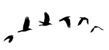 Sunset, Sky, Raven, Beautiful, Background, Nature, Flight, Flying, Wet Season, Flying Birds, Flying Crows,