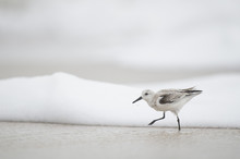 A Sanderling Walks Through The Shallow Ocean Foamy Waves In Soft Overcast Light With A White Background.