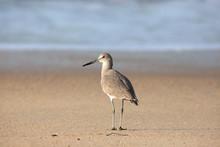 Willet Stands On Sand At Water...