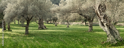 Fotoposter Olijfboom olive grove on the island of Mallorca