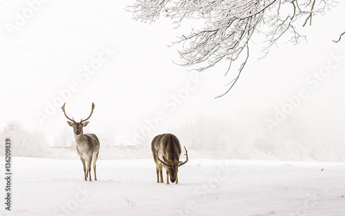 Tuinposter Hert A male of fallow deer with grate antlers standing on the snow