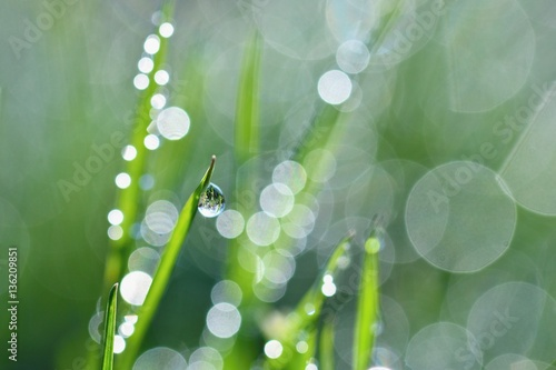 Obraz Spring. Beautiful natural background of green grass with dew and water drops. Seasonal concept - morning in nature. - fototapety do salonu