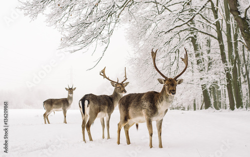 In de dag Hert A male of fallow deer with grate antlers standing on the snow