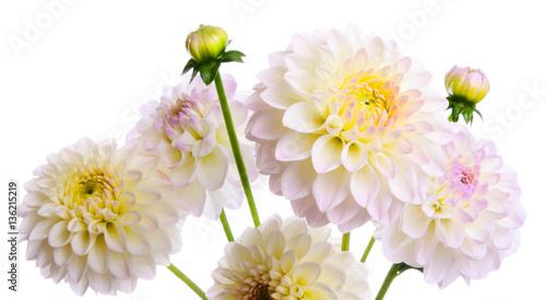 Poster de jardin Dahlia White dahlia