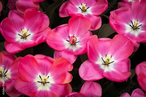Spoed Fotobehang Roze The Keukenhof, Dutch Public Spring Flowers Garden, Lisse, Zuid H