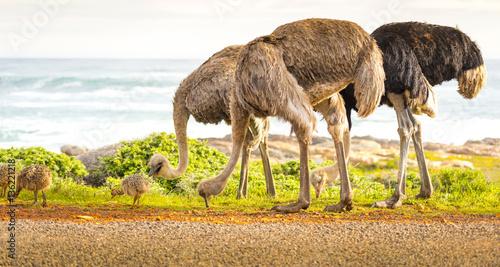 Photo sur Aluminium Autruche Ostrich Family