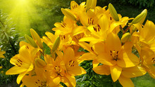 Beautiful Bright Yellow Lily And Sunlight